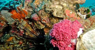 На дайвинге в Ко Самет можно увидеть морского ежа