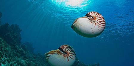 Наутилусы которых можно увидеть на дайвинге в Палау